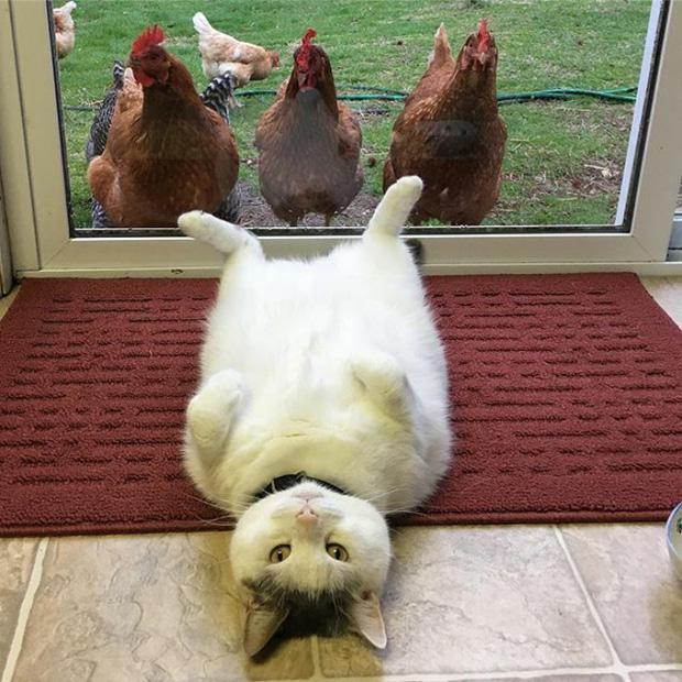 Dân tình điên đảo vì Thánh mèo lợn lười biếng cả ngày chỉ nằm chềnh ềnh
