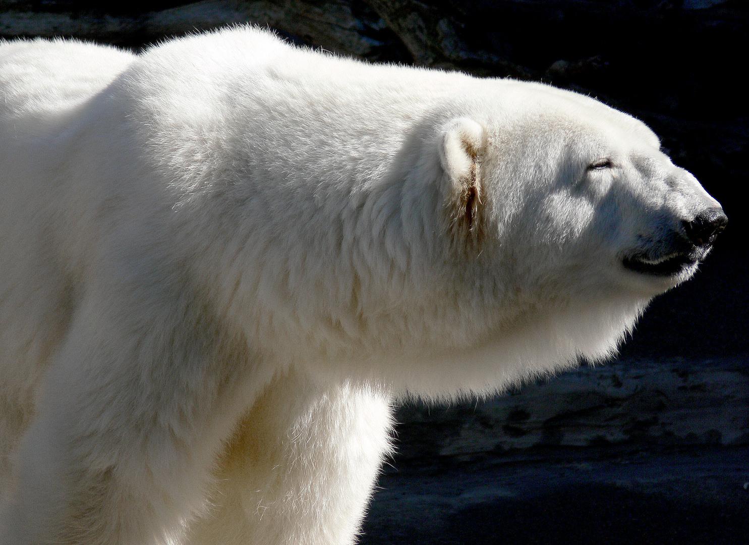 Beautiful Wallpapers: Polar Bear Wallpaper