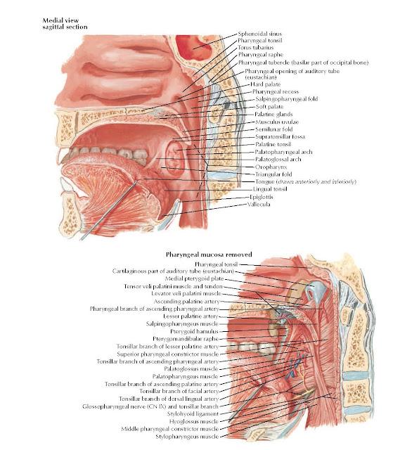 Fauces Anatomy  Sphenoidal sinus, Pharyngeal tonsil, Torus tubarius, Pharyngeal tubercle (basilar part of occipital bone), Pharyngeal raphe, Pharyngeal opening of auditory tube (eustachian), Hard palate, Pharyngeal recess, Salpingopharyngeal fold, Soft palate, Palatine glands, Musculus uvulae, Semilunar fold, Supratonsillar fossa, Palatine tonsil, Palatopharyngeal arch, Palatoglossal arch, Oropharynx, Triangular fold, Tongue (drawn anteriorly and inferiorly), Lingual tonsil, Epiglottis, Vallecula, Cartilaginous part of auditory tube (eustachian), Medial pterygoid plate, Tensor veli palatini muscle and tendon.