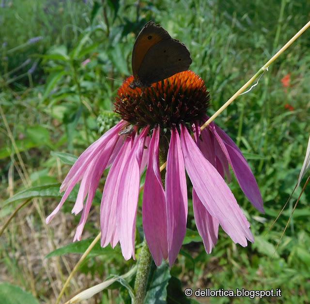 lavanda farfalle aromatiche nel giardino visitabile della fattoria didattica dell ortica a Savigno Valsamoggia Bologna vicino a Zocca nell Appennino