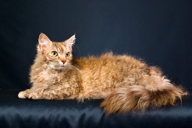 Gato LaPerm, el único en su especie con el pelo rizado
