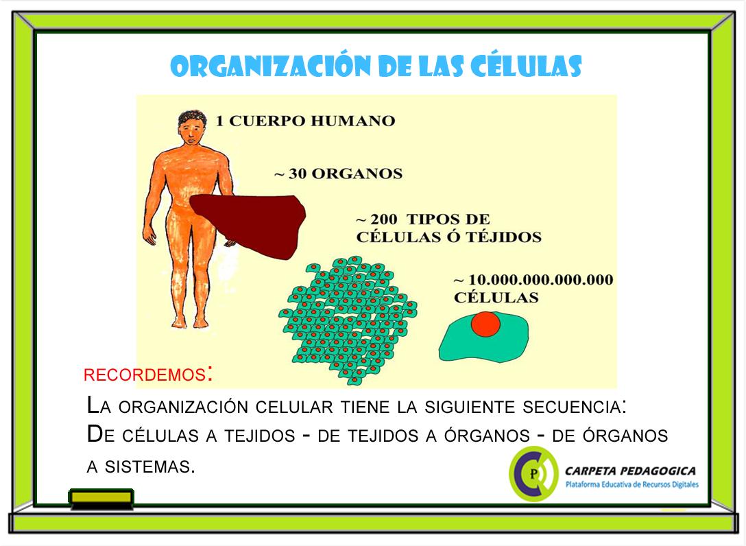 Pizarra: Organización de las células