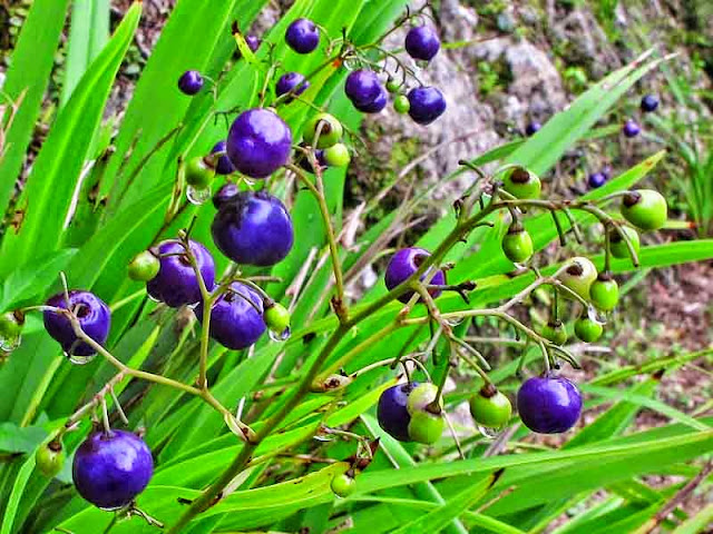 purple berries, Monkeygrass, Mondo grass