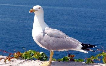 Wallpaper: Seagull