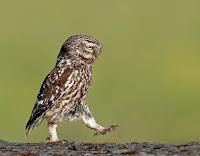 Yürüyerek volta atan komik bir kukumav kuşu