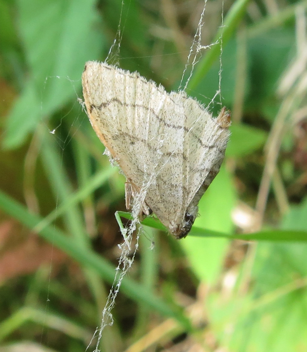 Riband Wave Moth (Idaea aversata) June 25th 2014 caught in spider's thread