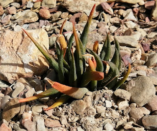 Haworthiopsis johanii- Boegoeskraal