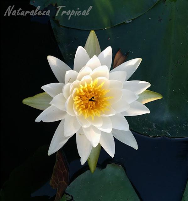 Plantas acuática y su flor característica, género Nymphaea, nenúfar blanco