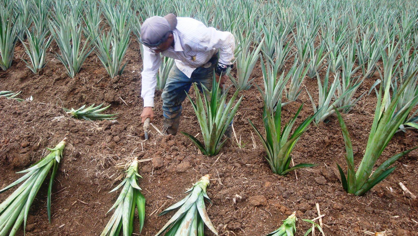 Sue os del caribe el auge de la pi a en nueva guinea for En cuanto tiempo se cosecha la tilapia