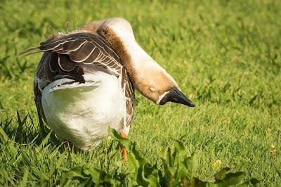 Swan Goose, Rheudasil Park