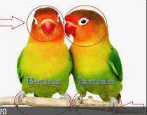 Cara Membedakan Lovebird Betina Dan Jantan Kicau Burung