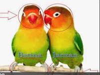Cara Membedakan Lovebird Betina Dan Jantan