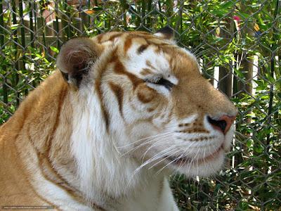 Existem poucos tigres-dourados, cerca de apenas 30 em todo o mundo, esses são mantidos em cativeiro.