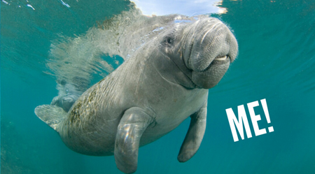 image of a manatee, to which I've added text reading 'ME!'