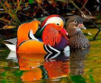 "Mandarin ducks Image credit ""wonderful animals"""