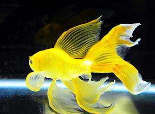 jenis ikan mas komet tercantik yellow
