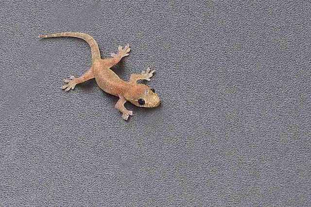 Ryukyu Life Okinawa Common House Gecko Images