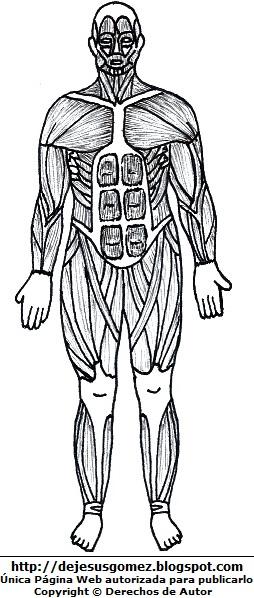 Músculos del cuerpo humano (Vista anterior) para colorear pintar  (Músculos de un hombre parte delantera). Dibujos del músculo hecho por Jesus Gómez