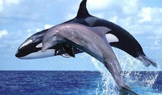 paus pembunuh dan lumba2