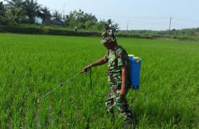 Koptu Simatupang Bantu Petani Merawat Tanaman Padi dengan Penyemprotan Hama