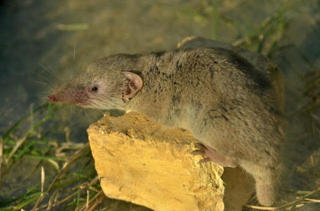 House shrew migrations linked to historical trade networks