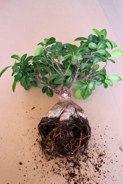Best Pflege Bonsai Ficus Ginseng Pictures - Thehammondreport.com ...