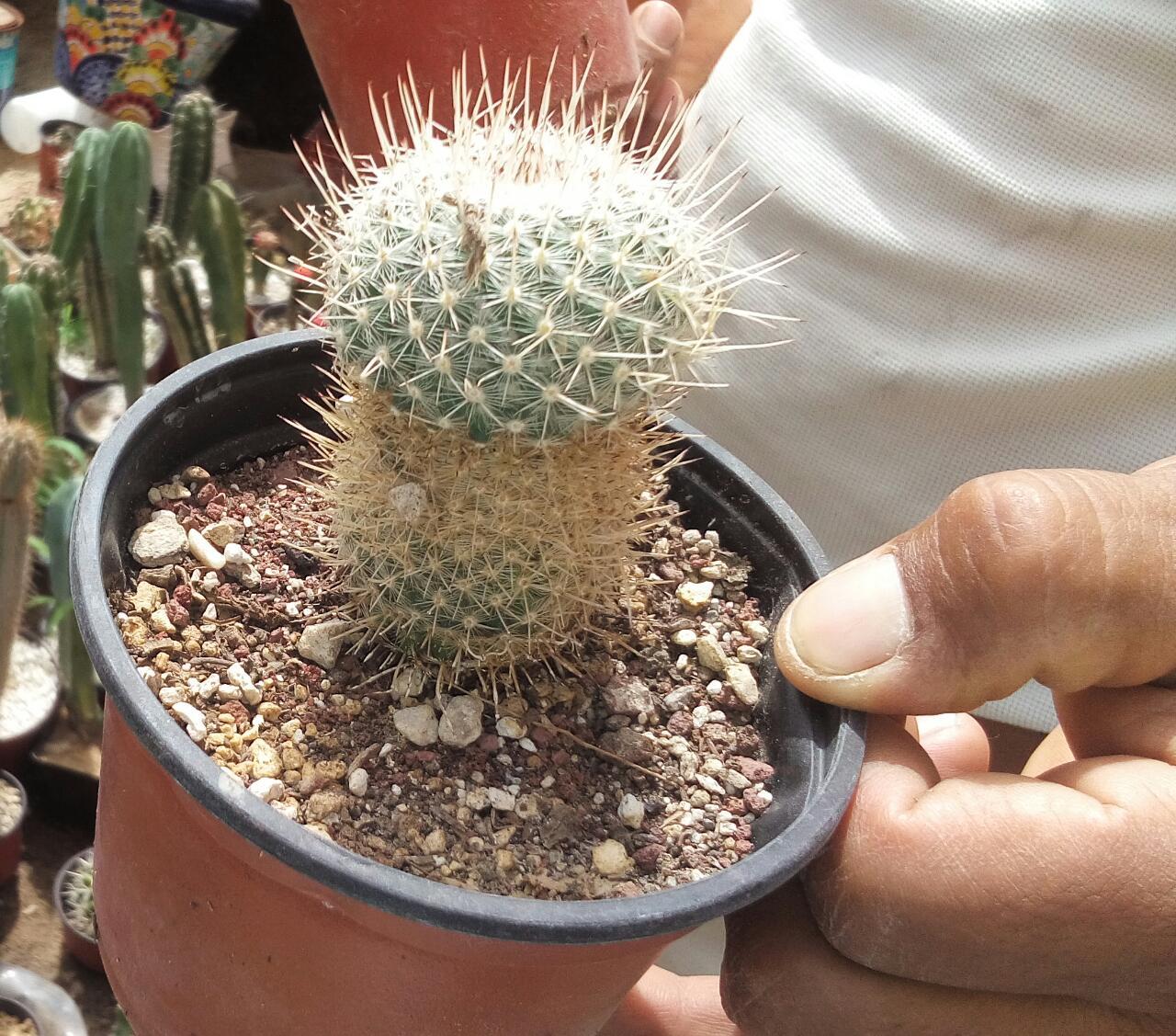 Eiz mantenimiento de jardiner a - Como transplantar cactus ...