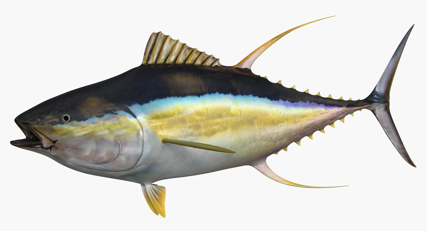 Yellowfin Tuna | 3d models for professionals