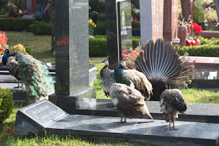 Forever Peacocks