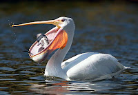 Pelikan balık yakalarken