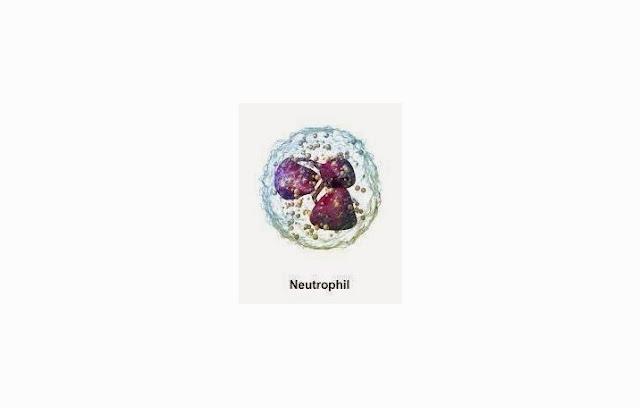 Pengertian Neutrofil, Fungsi Neutrofil, Ciri Neutrofil