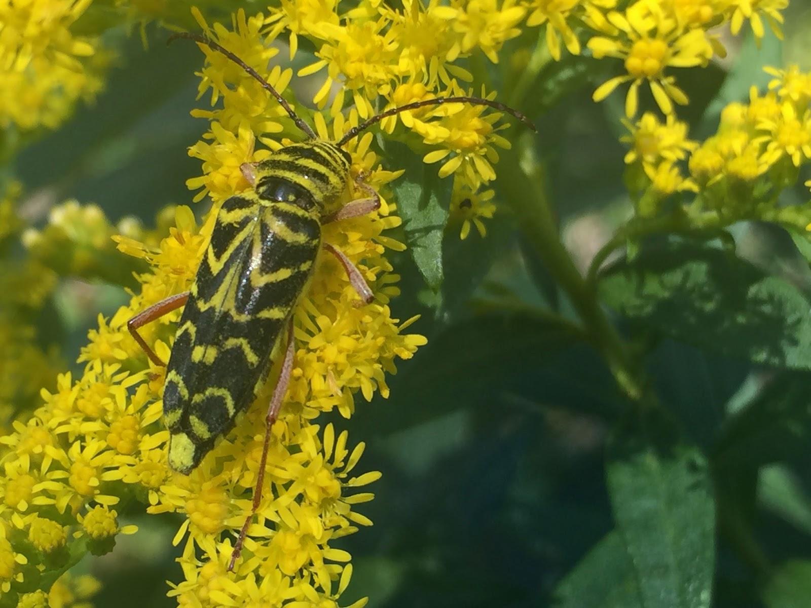 yellow pest
