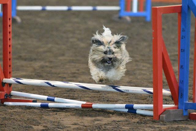 Rocco Havanese Agility jump
