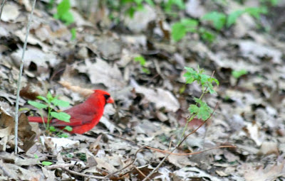 The cardinal @ Hendrie Park, RBG, Burlington, ON :: All Pretty Things