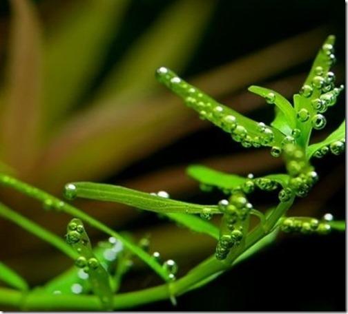 cây vẩy ốc xanh là cây thủy sinh dễ trồng