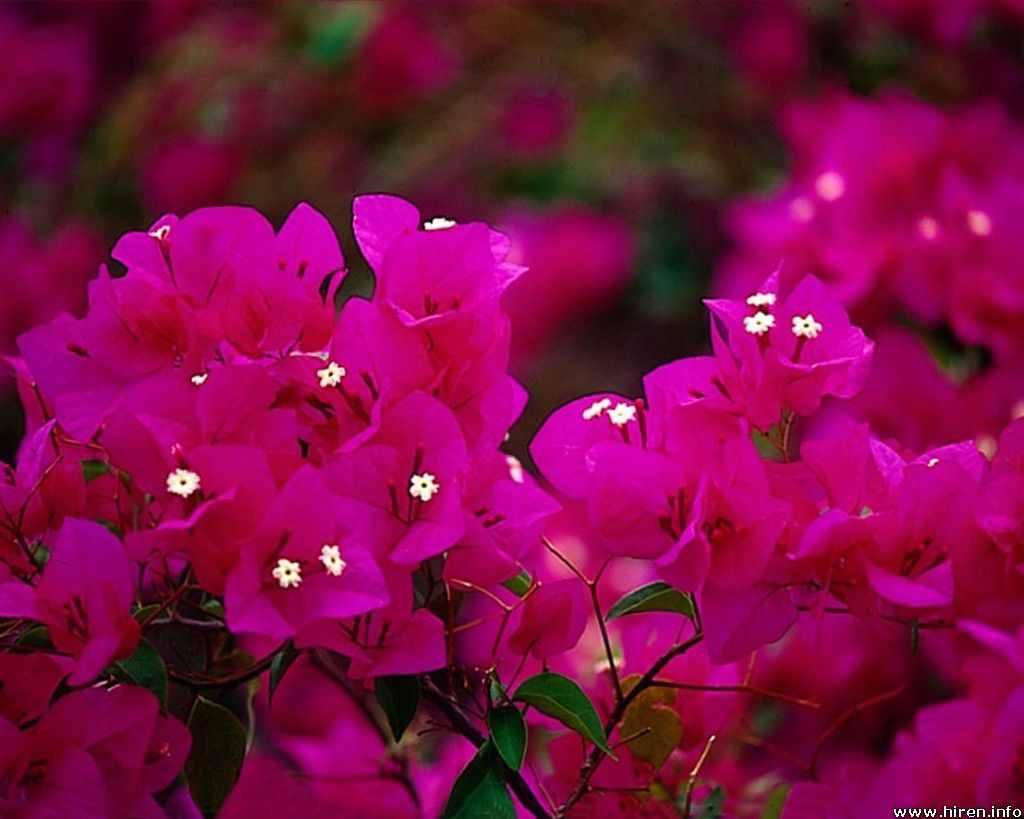 Flower Photos: Pink bougainvillea