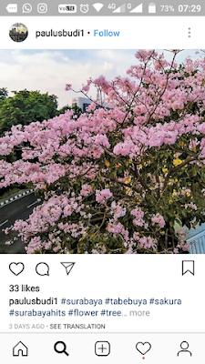 bunga sakura surabaya bunga tabebuya surabaya
