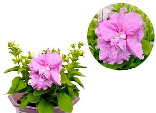jual-bibit-petunia-pink.jpg