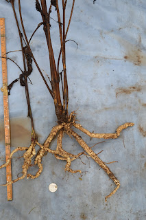 Morning Star skirret from the vegetable bed