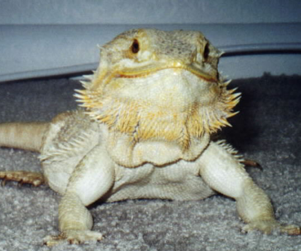 Bearded Dragons Facts