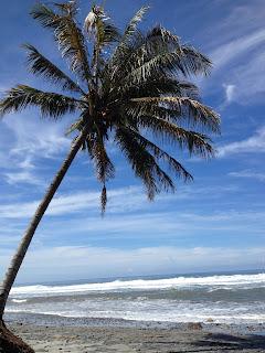 pohon kelapa di pantai manula kaur