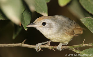 Tawny-crowned Pygmy-Tyrant