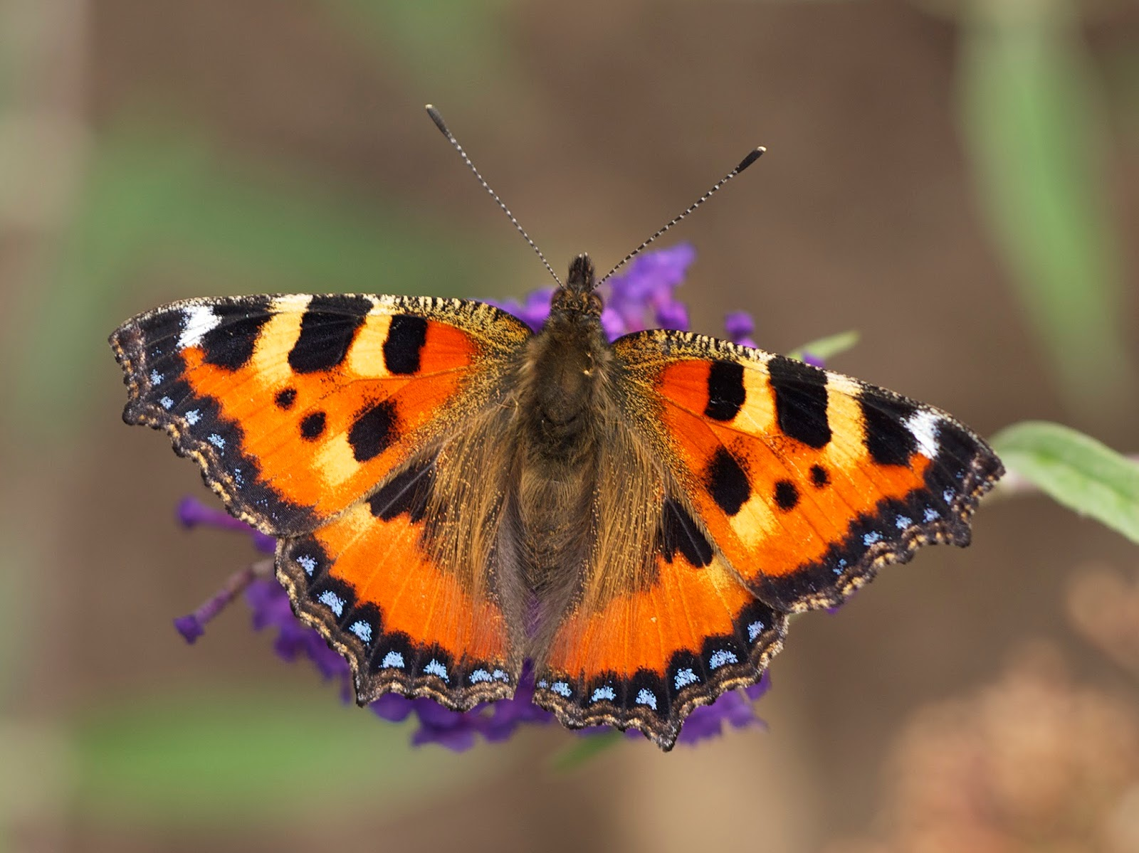 Insects: Aglais urticae