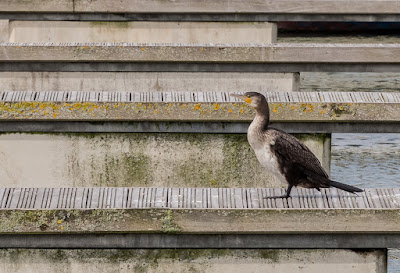 Photo of a cormorant sunning itself on a pontoon near Ravensdale