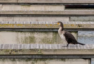 Photo of a cormorant sunning itself on a pontoon near Ravensdale