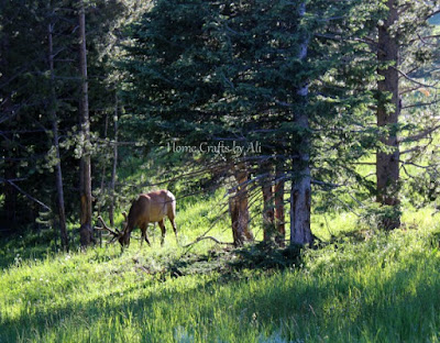 elk grazing near canyon village