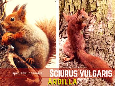 La Ardilla, Sciurus vulgaris, son mamíferos dentro del Orden Roedores