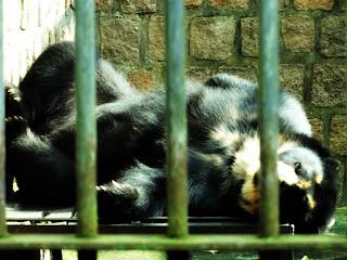 Urso-de-óculos no Parque Zoológico de Sapucaia