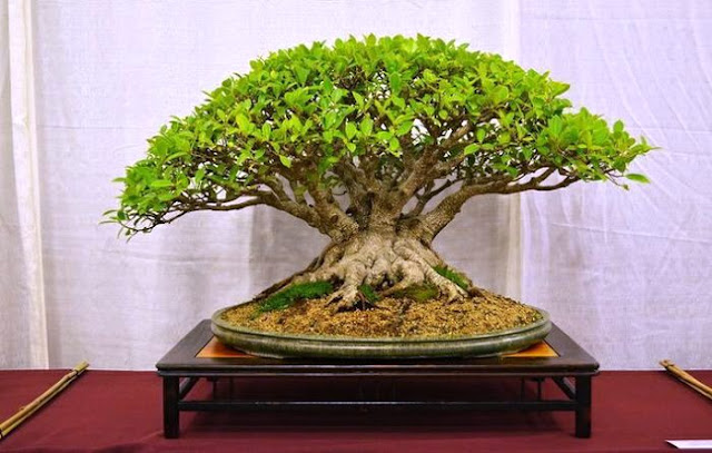 Ficus Retusa, Bonsai
