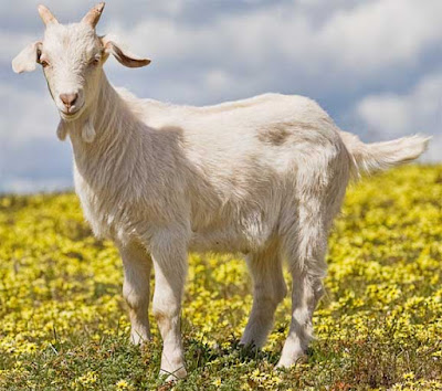 rules for feeding goats, tips for feeding goats, rules and tips for feeding goats, feeding goats, goat in a pasture, a goat in pasture